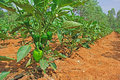 Capsicum cultivation in india plants with ripening green fruits from a field is also known as bell pepper red pepper and Royalty Free Stock Photography