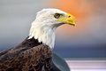 A captive bald eagle portrait of serving as sports mascot Royalty Free Stock Image
