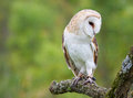 Captive barn owl tyto alba perched on a branch Stock Images