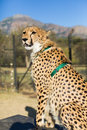 Captive cheetah an adult sitting upright in the sunlight Stock Photos