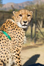 Captive cheetah a with a green collar sitting in the sun Royalty Free Stock Photography