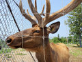 Captive elk looking through fence male with velvet antlers Royalty Free Stock Photo