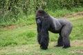 Captive endangered western lowland gorilla in captivity close up Stock Photos
