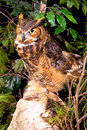 Captive Great Horned Owl Standing on Rock Stock Photography