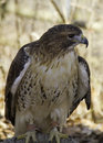 Captive hawk a red tailed resting on a branch looking into the forest Stock Image