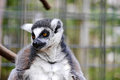 Captive lemur a looks with curiosity at something happening off camera Royalty Free Stock Images