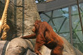 Captive Orangutan Royalty Free Stock Image