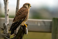 The capture juvenile european kestrel falco tinnunculus with a vole uppland sweden Royalty Free Stock Photography