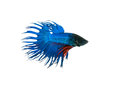 capture the moving moment beautiful of siam blue halfmoon betta