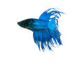 capture the moving moment beautiful of siam blue halfmoon betta. Royalty Free Stock Photo