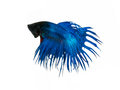capture the moving moment beautiful of siam blue halfmoon betta Royalty Free Stock Photo