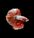 Capture the moving moment of red siamese fighting fish betta isolated on black background Royalty Free Stock Image
