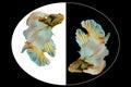 White and yellow siamese fighting fish, betta fish isolated on b