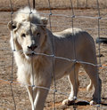 Captured lion a white in south africa Royalty Free Stock Photography