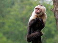 Capuchin monkey a on a tree Royalty Free Stock Photos