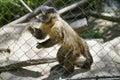 Capuchin Monkey, Zoo Series, behind fence