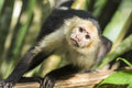 Capuchin white faced monkey looking at me closeup of face Royalty Free Stock Photos