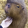 Capybara 4 Stock Photo