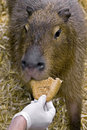 Capybara 6 Royalty Free Stock Photos