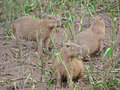Capybara, Amazon River Peru Stock Photo