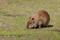 Capybara cub Royalty Free Stock Photo