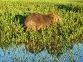 Capybara at Esteros del Ibera