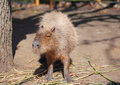 Capybara family portrait of in safari park krasnodar russia Stock Image