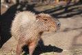 Capybara family portrait of in safari park krasnodar russia Royalty Free Stock Photography