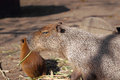 Capybara family in safari park krasnodar russia Royalty Free Stock Image