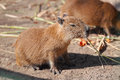 Capybara family in safari park krasnodar russia Stock Image