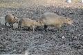Capybara family Royalty Free Stock Photo