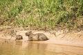 Capybara Female and Baby on Sunbathing on Riverbank Royalty Free Stock Photo