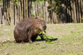 Capybara foraging Royalty Free Stock Image