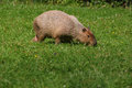 Capybara a grazing on a meadow Stock Photography