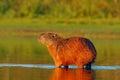 Capybara, Hydrochoerus Hydroch...