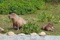 Capybara hydrochoerus hydrochaeris grazed on a green lawn Royalty Free Stock Image