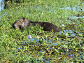 Capybara hydrochoerus hydrochaeris the is the largest extant rodent in the world native to south america it lives near bodies of Stock Photos