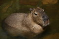 Capybara hydrochoerus hydrochaeris staying in water Royalty Free Stock Image