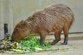 Capybara the is the largest rodent in the world followed by the beaver porcupine and mara Stock Images