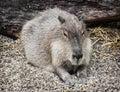 Capybara Portrait (Hydrochoeru...