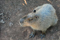 Capybara rodent closeup of animal the largest in the world Royalty Free Stock Photography