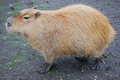 Capybara rodent largest in the world Royalty Free Stock Photos