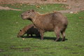 Capybara s family adult and child of hydrochoerus hydrochaeris on grassland Royalty Free Stock Photography