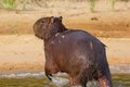 Capybara swimming wounded by jaguar and running surrounded by flies and gnats Royalty Free Stock Photos