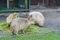 Capybara tree capybaras in the zoo Royalty Free Stock Photography