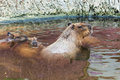 Capybara in water brown giant the Stock Photos