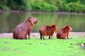 Capybaras the largest rodent in the world in pantanal mato grosso brazil Stock Photography