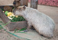 Capybaras in zoo family of Stock Image