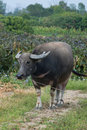 Carabao Royalty Free Stock Images