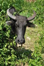 Carabao face the national animal of the philippines front view head shot around bushes Stock Photo